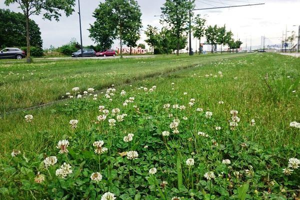 Une partie des 14 kilomètres de lignes du tramway à Dijon sont végétalisées.