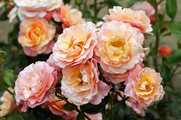 La Rose Marie-Curie, la rose préférée de Simone Veil.