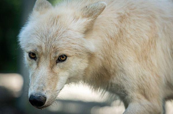 Il est né en Belgique, et il agrandit la meute de loups noirs du Canada et de loups gris d'Europe du parc Alpha à Saint-Martin-Vésubie.