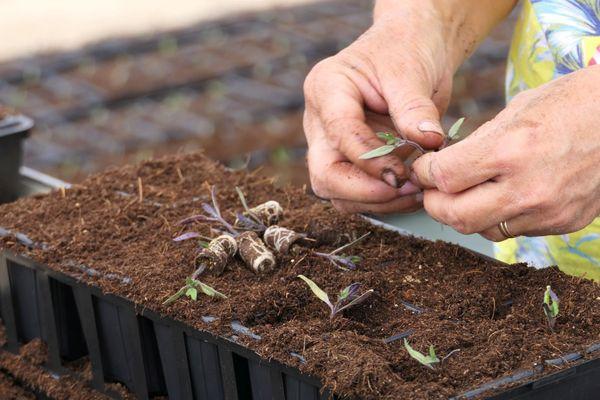 Préparation des plants de tomates