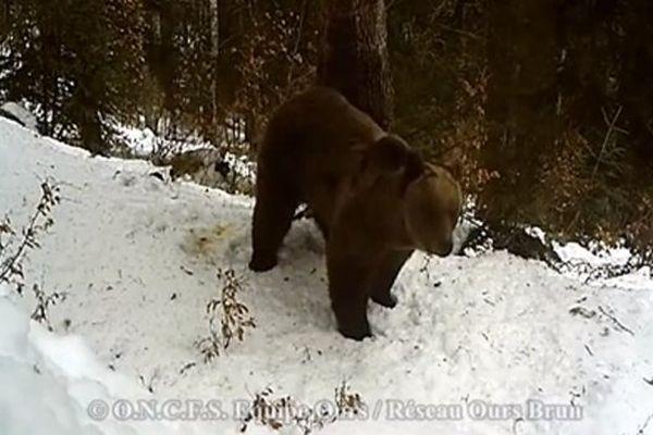 Ours mâle indéterminé
