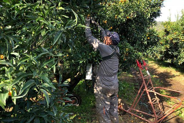 ILLUSTRATION / La main-d'oeuvre manque aux agriculteurs insulaires, qui cherchent des solutions