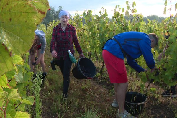 Premières vendanges de l'année dans le Beaujolais. De la motivation pour affronter des vignes impactées par le gel. Pour le pire ou le meilleur ?