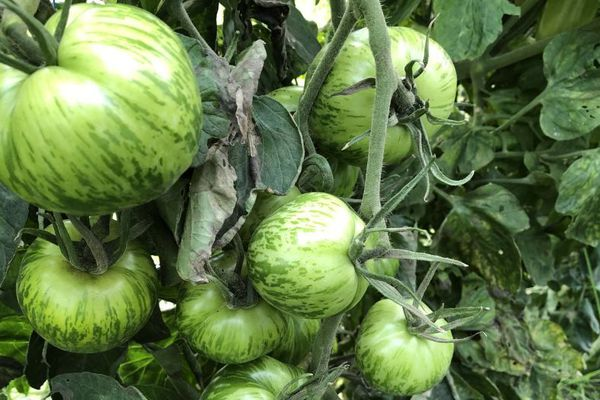 Faire partager le goût des légumes frais, le plaisir de Guillaume Burnel, maraîcher bio depuis un an et demi.