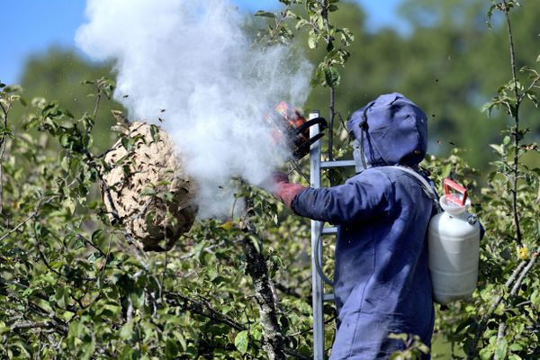 La destruction, à l'aide de pesticides, d'un nid de frelons asiatiques