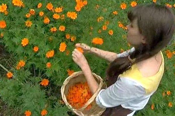 Saint-André-de-Lancize (Lozère) - Clémentine cueille les fleurs du jardin pour ses teintures naturelles - août 2014.