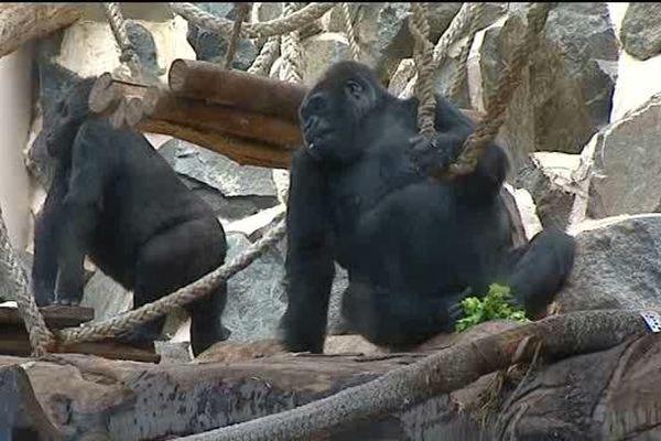 Digit et Likalé au parc zoologique de Saint-Martin-la-Plaine