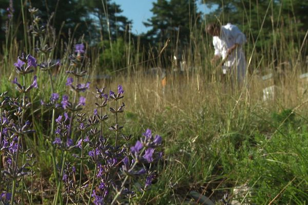 Les ruches sont transportées de nuit et installées à plus de 1000 mètres d'altitude, à proximité de la lavande sauvage.