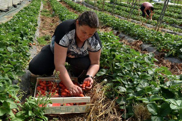 Image d'illustration : cueillette des fraises dans une exploitation près de Cahors en période de confinement.