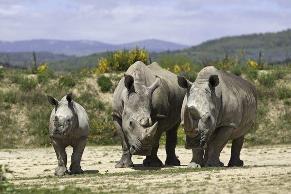 Famille rhinocéros blanc au Safari de Peaugres, en Ardèche, mai 2013.