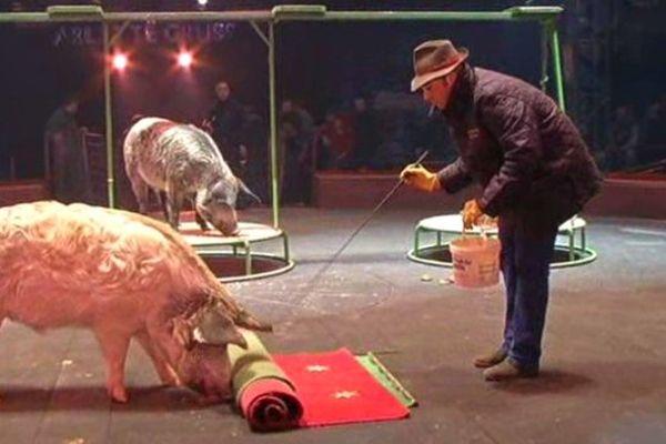 Le Cirque Gruss, ici avec des cochons domestiques, ne présente presque plus d'animaux sauvages dans son spectacle.