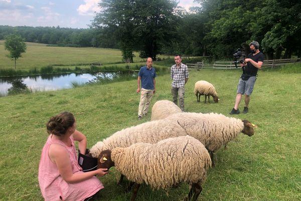 Les moutons solognot.
