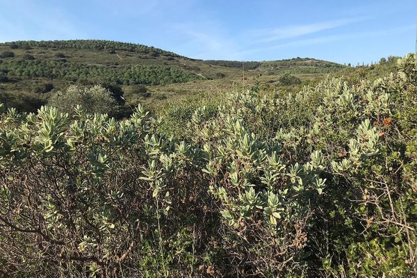 Les garrigues s'étendent de Monbazin à Villeveyrac jusqu'aux contreforts de la montagne de la Moure.