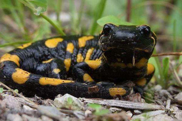 La salamandre va-t-elle perdre son statut d'emblème départemental ?