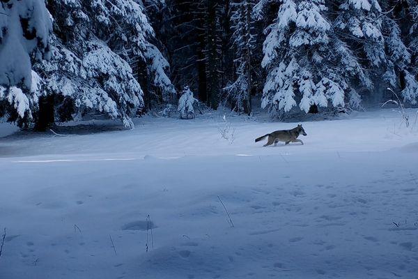 """Le film """"Marche avec les loups"""" retrace le voyage de jeunes loups des Alpes jusque dans le Jura."""