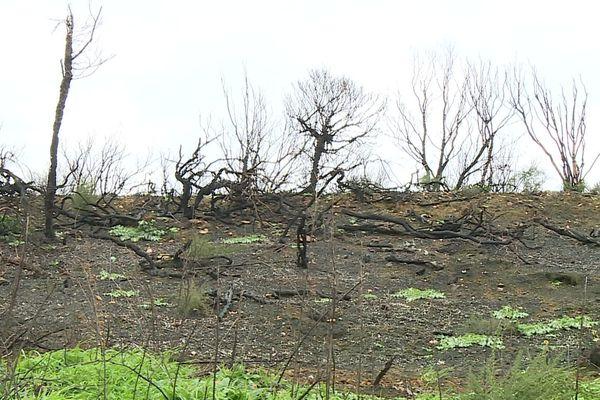 Des arbres calcinés à perte de vue, tel est le triste paysage de Générac suite aux incendies