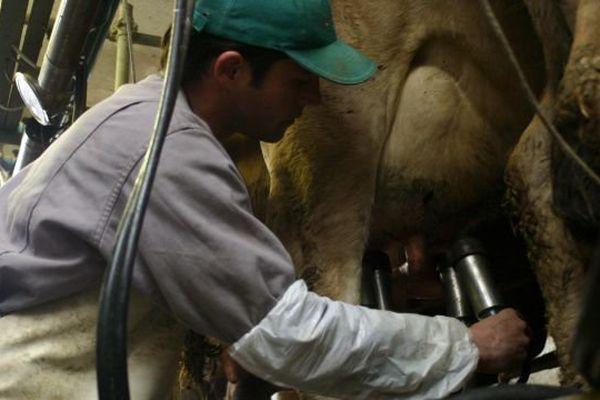 Traite des vaches par un agriculteur. Illustration.