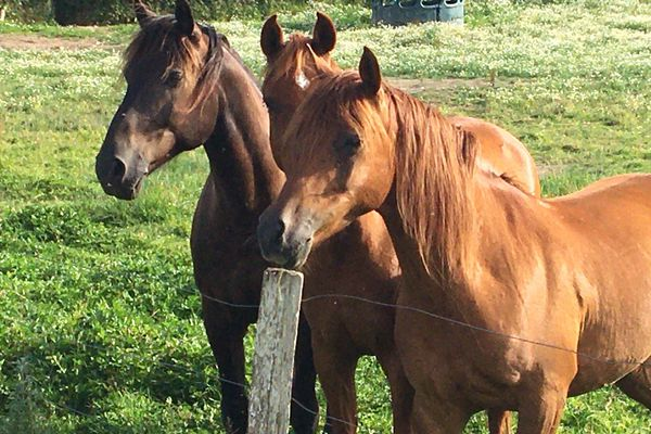 Le nombre de chevaux mutilés et tués s'est accru ces derniers mois.