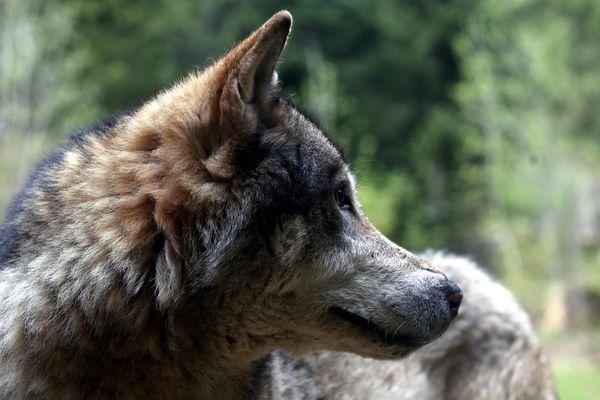 Est-ce un loup ou un grand canidé qui sévit à Fougerolles ?