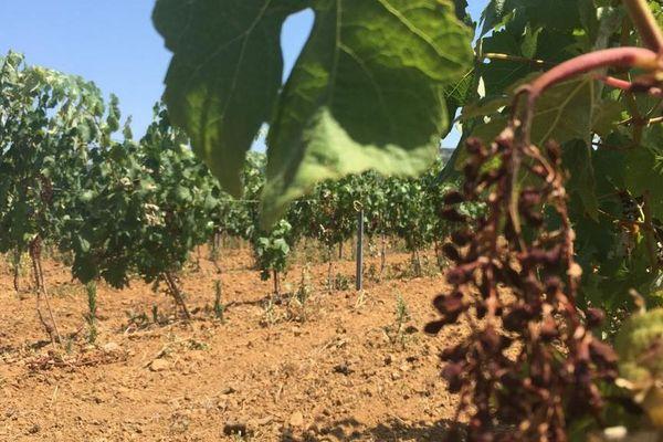 Cournonsec (Hérault) - des raisins brûlés par la canicule - 1er juillet 2019.