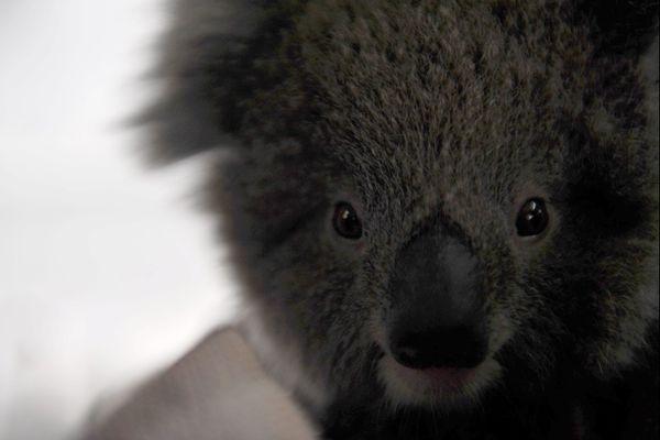 """""""Le koala est la grande victime de ces incendies en Australie: il ne se reproduit pas beaucoup et se déplace lentement, il n'a pas la possibilité de s'échapper. Et il y a des tas d'espèces de rongeurs, des oiseaux, des reptiles, dont on ne parle pas"""" explique Nicolas Géli, responsable zoologique au PAL, dans l'Allier."""
