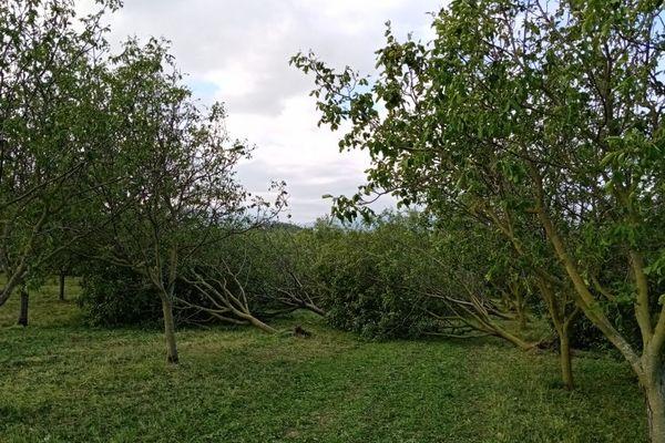 Des arbres déracinés par dizaines