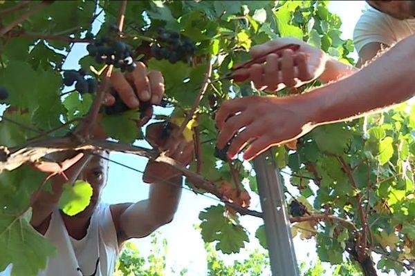 Récolte de raisin pinot noir.