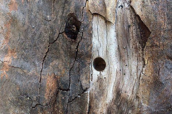 Les petits trous percés en bas des troncs des platanes passent inaperçus le temps que le poison fasse son effet.