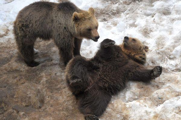 Ours au parc animalier des Angles (66)