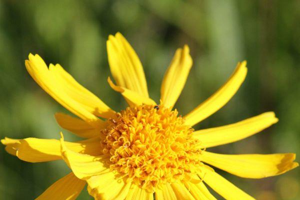 Cette jolie fleur jaune - transformee en pommades, lotion, gel ou teinture - est devenue la plante la plus vendue en pharmacie ! Pour soigner les oedèmes, coups, bleus, mais aussi les entorses et les vieilles douleurs, rien de tel que l'arnica