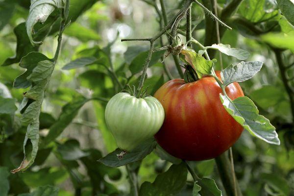 Le virus de la tomate a été détecté dans le Finistère.
