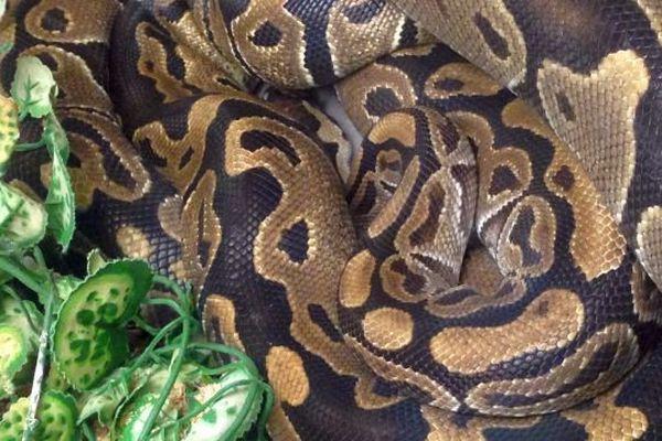 Un python royal