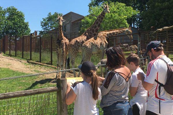 Les girafes sont ravies de retrouver des visiteurs, après deux mois de confinement.