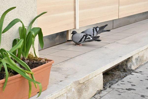 Devant une boulangerie, ces pigeons picorent quelques miettes de pain.