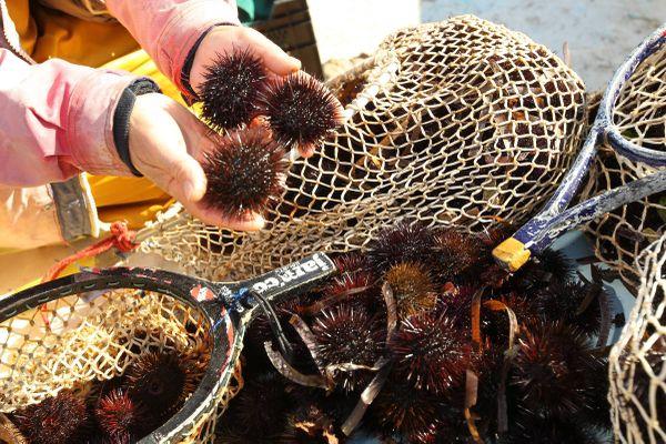 Un pêcheur tient des oursins fraichement pêchés dans ses mains, à Carqueiranne (Var).