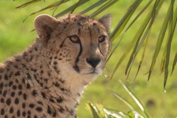 Un guépard au Bioparc de Doué-la-Fontaine