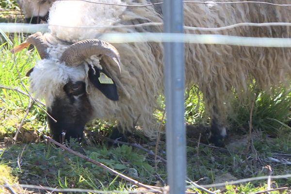Les moutons de la race Thônes et Marthod entretiennent cette vigne du Jura, en hiver.
