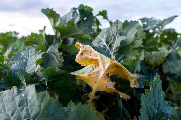 la filière sucrière doit lutter contre la prolifération de pucerons provoquant la jaunisse de la betterave.