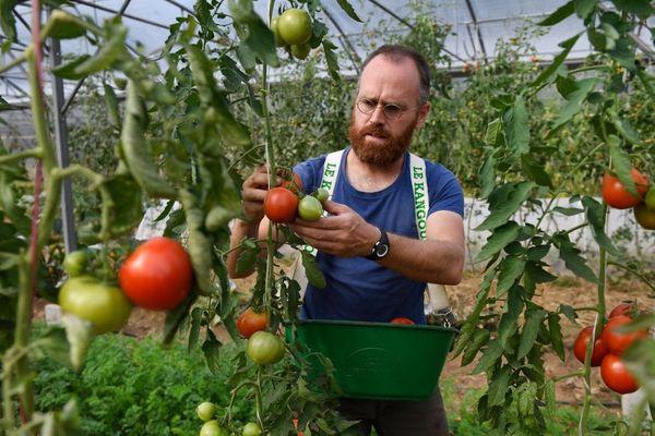 Agriculteur biologique, Baptiste Gilbert, cueille des tomates dans sa serre à Trémargat (22).