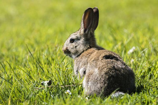 """Selon l'enquête de """"Nos Viventia"""", l'élevage produit 4000 à 5000 jeunes lapins par an"""