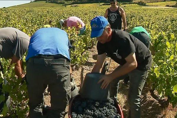 Beaujolais, vendanges à la main et accueil des saisonniers : tradition respectée