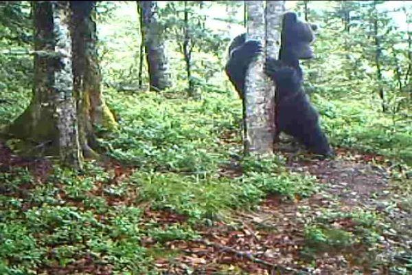 Seuls deux ours mâles vivent dans le Béarn, trop éloignés des autres populations d'ours des Pyrénées.