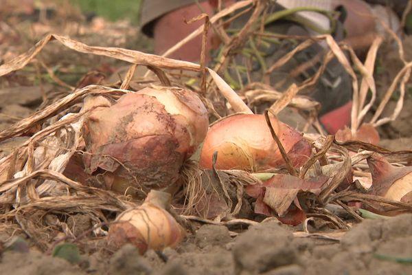 Ardèche : l'oignon de Tournon-sur-Rhône, un produit confidentiel qui n'est plus cultivé que par un unique maraîcher du secteur