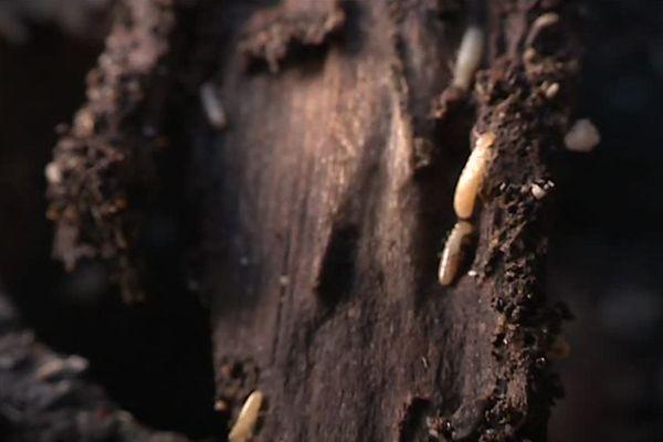 Des termites en action sur un morceau de bois