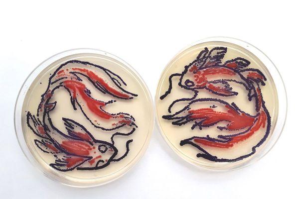 Trois étudiantes d'Aurillac ont remporté un concours national d'Agar'Art en dessinant des carpes Koï à l'aide de bactéries.