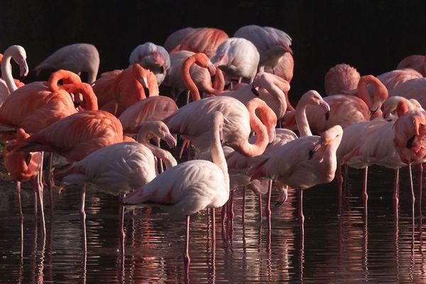 Parmi les espèces présentes dans la grande volière du Parc zoologique de Paris, les flamands roses voyagent, au gré de leur migration, du delta du Niger à la Camargue.