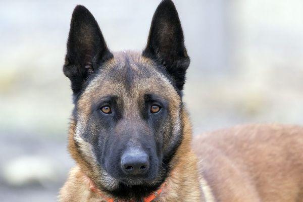 Le Malinois est le chien de berger belge le plus utilisé dans les disciplines comprenant du mordant / Illustration