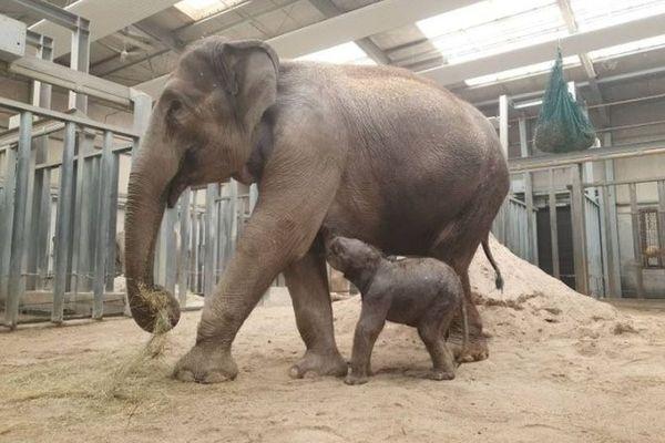 Dimanche 16 mai, un éléphanteau d'Asie est né au parc animalier et d'attractions le PAL, dans l'Allier.