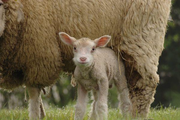 L'agneau de lait des Pyrénées obtient l'IGP