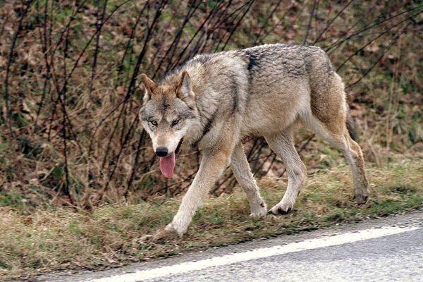 C'est le quatrième indice de présence du loup en Creuse, depuis 2017 (illustration).